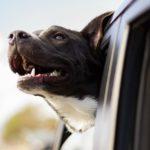 Hund unterwegs: So fährt mein Hund sicher im Auto mit