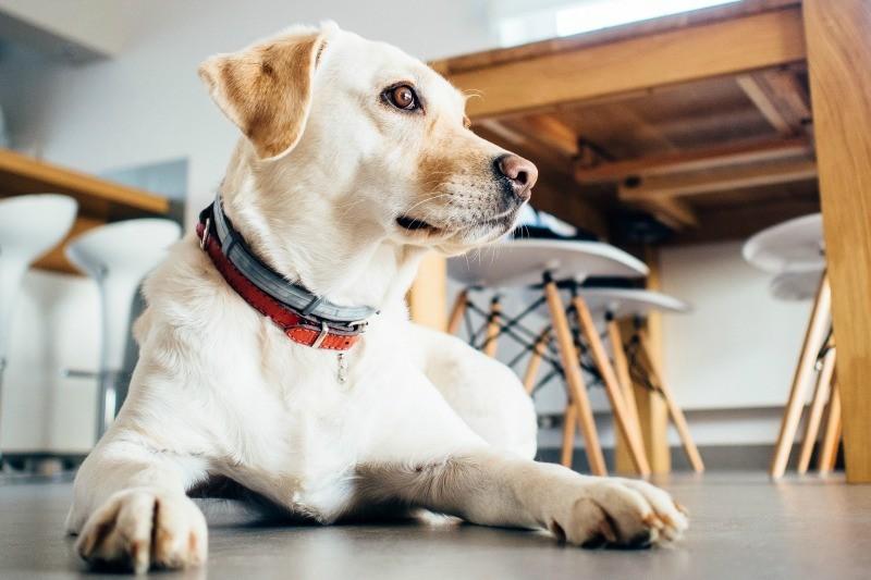 Ein Erwachsener Hund zieht ein - das brauchen Sie