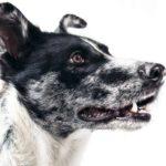 Hundefutter: BARF – Vorteile, Nachteile
