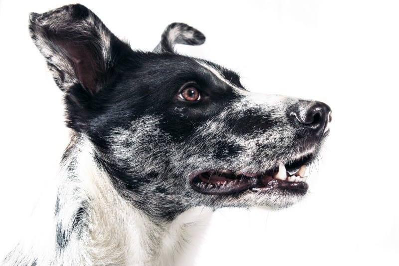 BARF - das natürliche Futter für den Hund