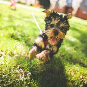 Hundegeschirre - spielender Yorkshire Terrier mit Geschirr - Mein erster Hund