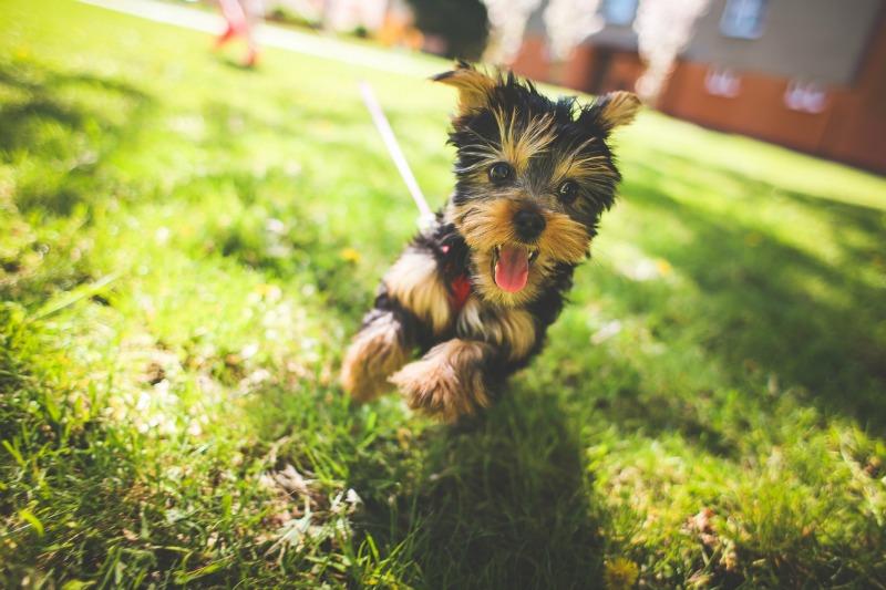 Hundegeschirr - spielender Yorkshire Terrier mit Geschirr - Mein erster Hund